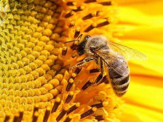 albine-miere r